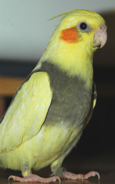 Cockatiel Wallpaper