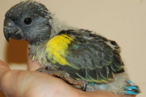 Ruppel Parrot For Sale This Baby Ruppell 39 s Parrot is